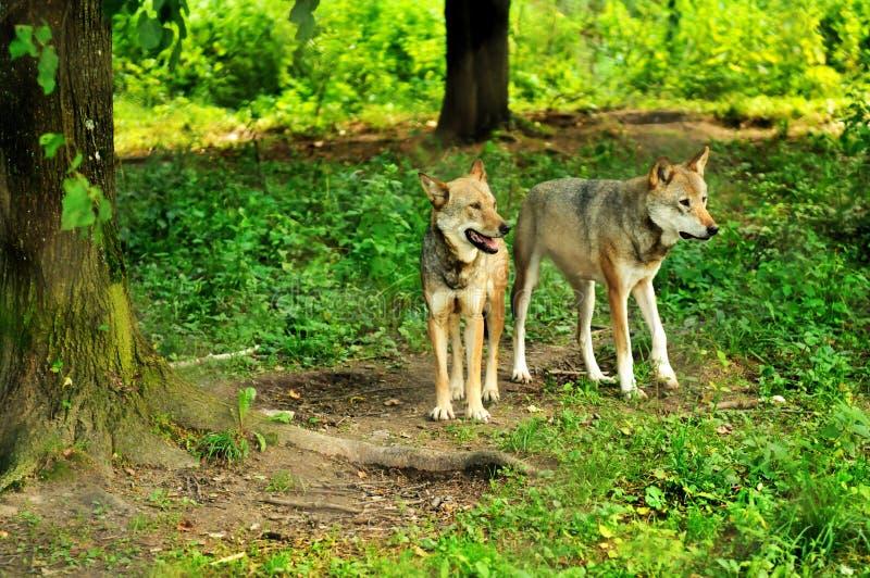 Zwei Wölfe stockbilder