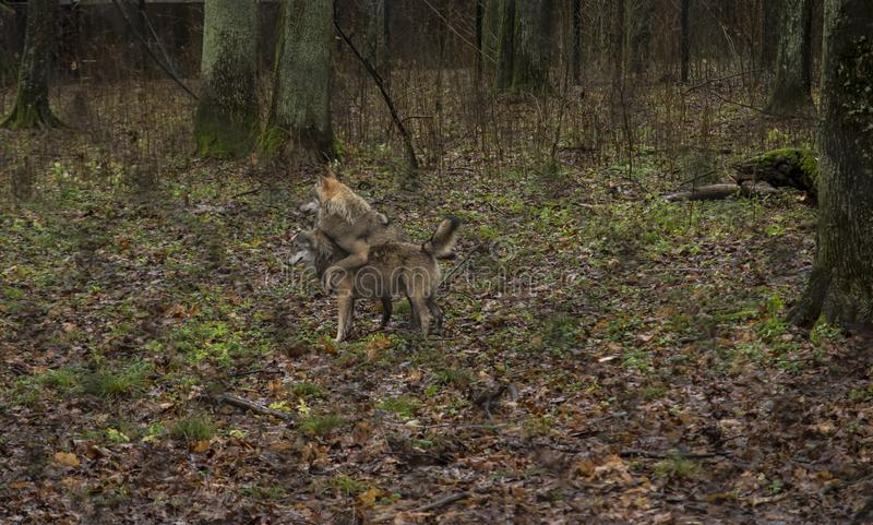 Zwei Wölfe bei regnerischem Wetter auf einem eingezäunten Bereich Wälder Bialow lizenzfreie stockfotos