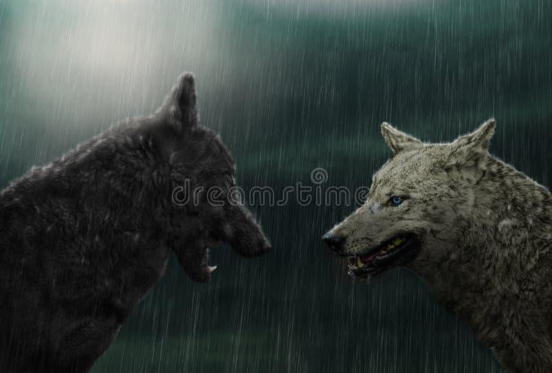 Zwei Wölfe im Regen stockfotos
