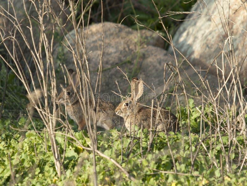 Zwei Wüsten-Waldkaninchen-Kaninchen Sylvilagus audubonii in der Wiese lizenzfreie stockfotografie
