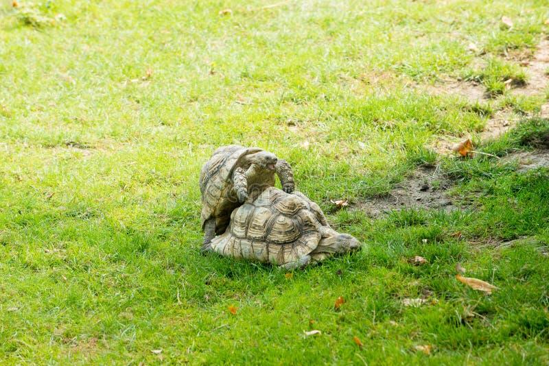 Zwei Waldschildkröten, die Sex in einem Zoo haben stockbilder