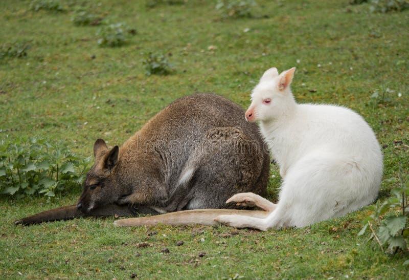 Zwei Wallabys sitzen nah stockfoto