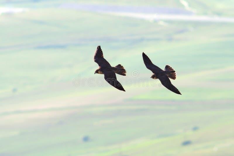 Zwei Wanderfalken, die zusammen fliegen lizenzfreie stockfotografie
