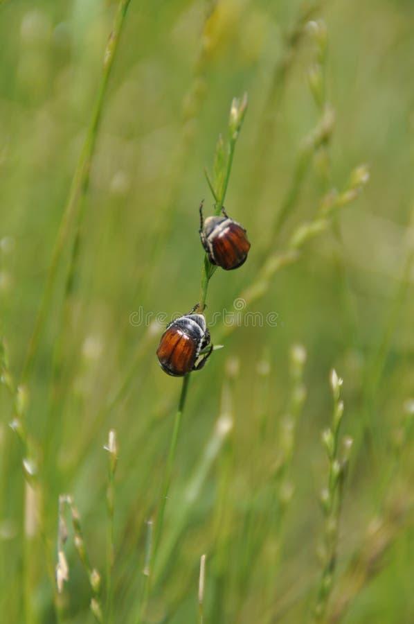 Zwei Wanzen auf einem Gras stockfotografie