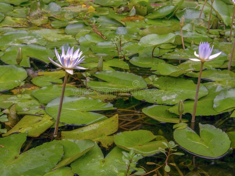Zwei Wasserlilien in einem Teich lizenzfreies stockfoto