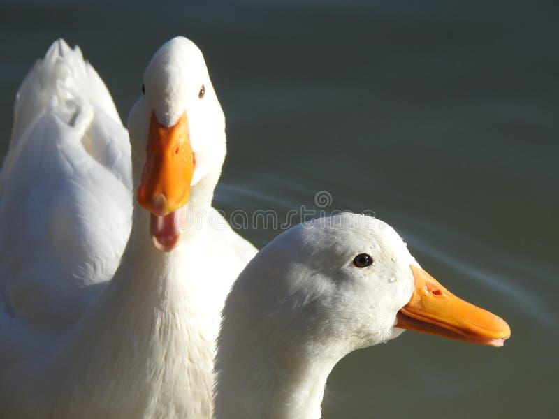 Zwei weiße Enten stockfotos
