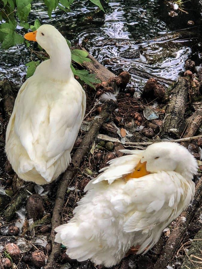 Zwei wei?e Enten durch Wasser lizenzfreie stockbilder
