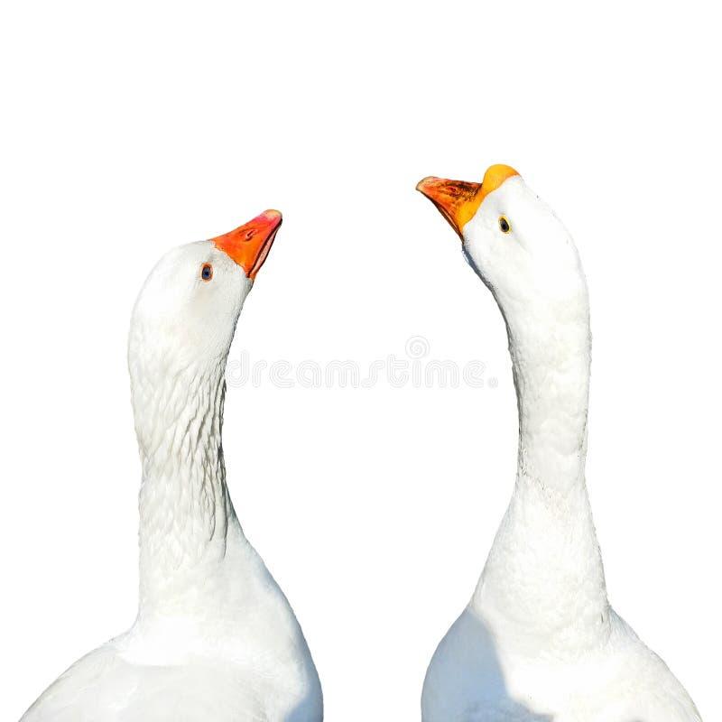Zwei weiße Gansvogelköpfe lokalisiert auf Weiß stockbilder