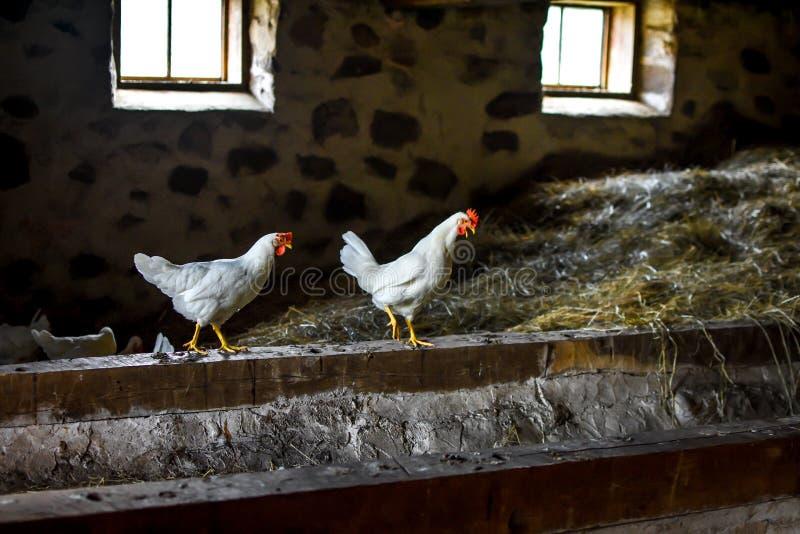 Zwei weiße Hühner, die in der Scheune stehen lizenzfreie stockfotos