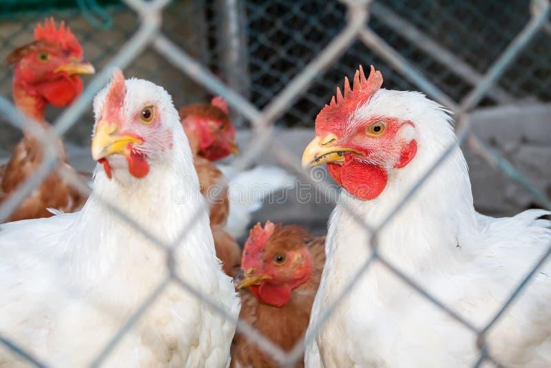 Zwei weiße Hühner oder Hennen stockfoto