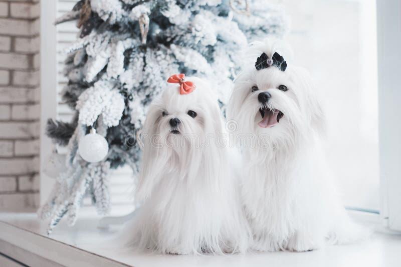 Zwei weiße Hunde züchten maltesisches Sitzen auf dem Fenster mit einem Weihnachtsbaum lizenzfreies stockfoto