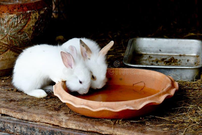 Zwei weiße Kaninchen-Trinkwasser von gebackenem Clay Disc stockbild