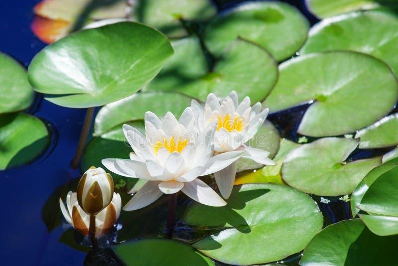 Zwei weiße Lilien und eine Blumenknospenblüte auf blauem Wasser und grünem Blatthintergrundabschluß oben, drei schöne waterlilies lizenzfreies stockbild