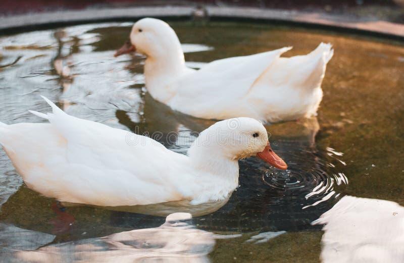 Zwei weiße nette Enten, die Phasen- im kleinen Pool einzieht etwas schwimmen stockfotos