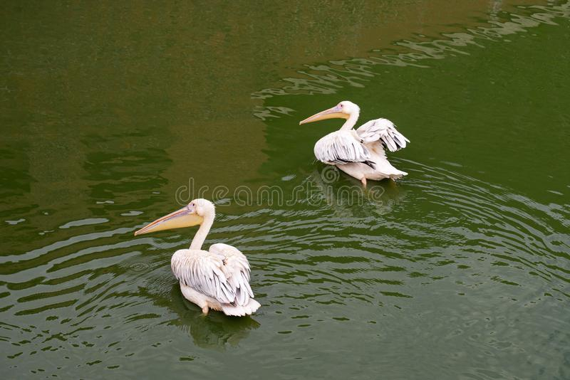 Zwei weiße Pelikane Pelecanus onocrotalus im Wasser lizenzfreie stockfotografie