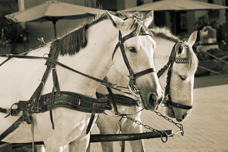 Zwei weiße Pferde lizenzfreies stockfoto