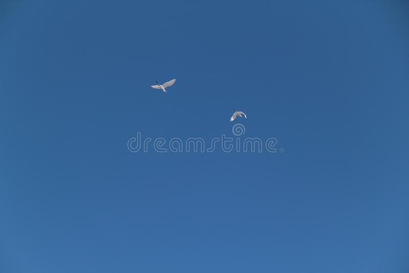 Zwei weiße Reiher fliegen gegen den blauen Himmel stockfotos