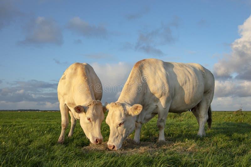 Zwei weiße Rinder essen Heu und stehen vor der Wiese stockfotografie
