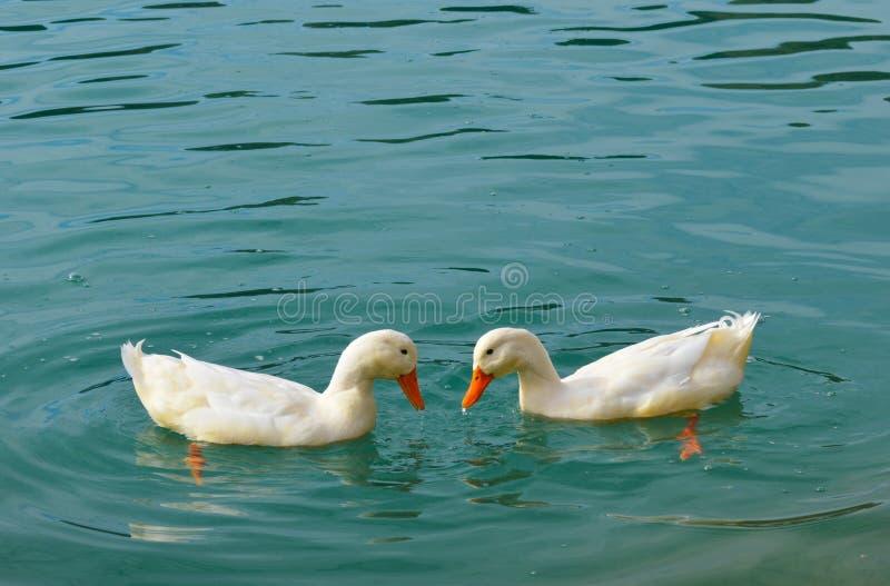 Zwei weiße schwimmende Enten lizenzfreie stockfotografie