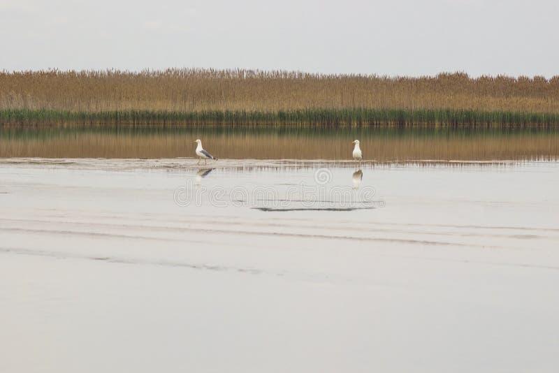 Zwei weiße Seemöwen auf dem See, Schilf wächst auf dem Ufer lizenzfreie stockbilder