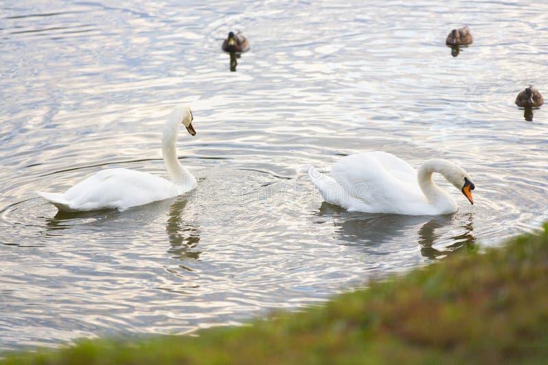 Zwei weiße Vögel - Schwäne - und Baumenten im Teich, See, Fluss lizenzfreie stockfotografie