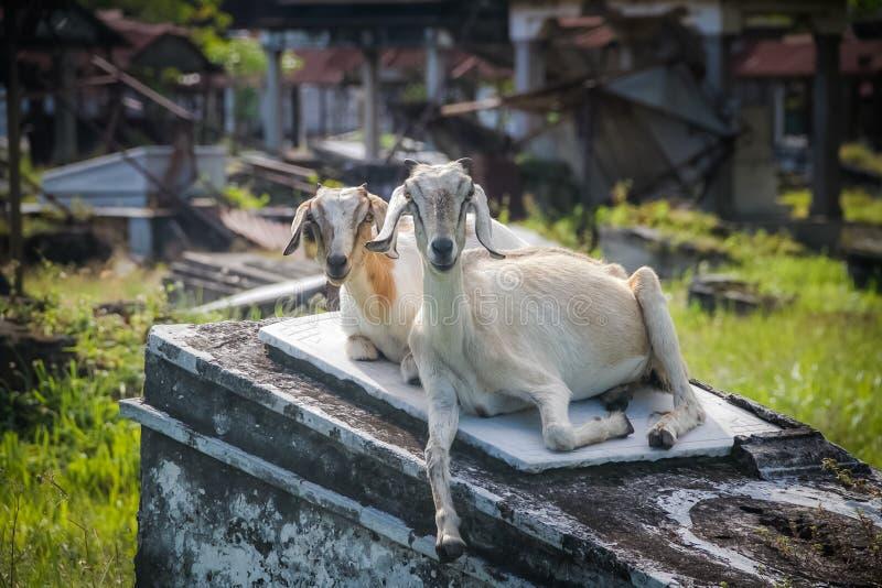 Zwei weiße Ziegen stockfoto