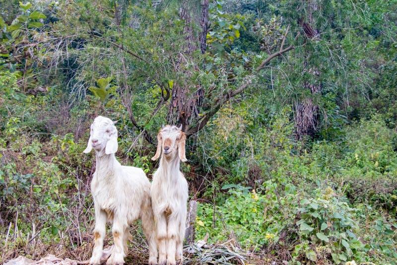 Zwei weiße Ziegen, die zusammen über grünen Blättern stehen lizenzfreie stockfotos