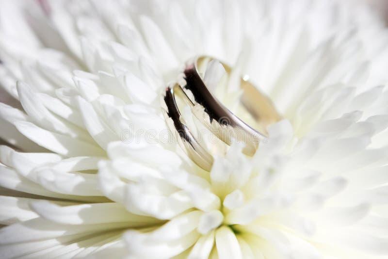Zwei Weißgoldeheringe auf einer weißen Chrysanthemenblume stockfotos