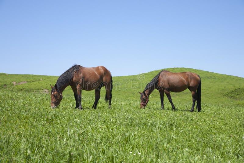 Zwei weiden lassende Pferde lizenzfreie stockfotografie