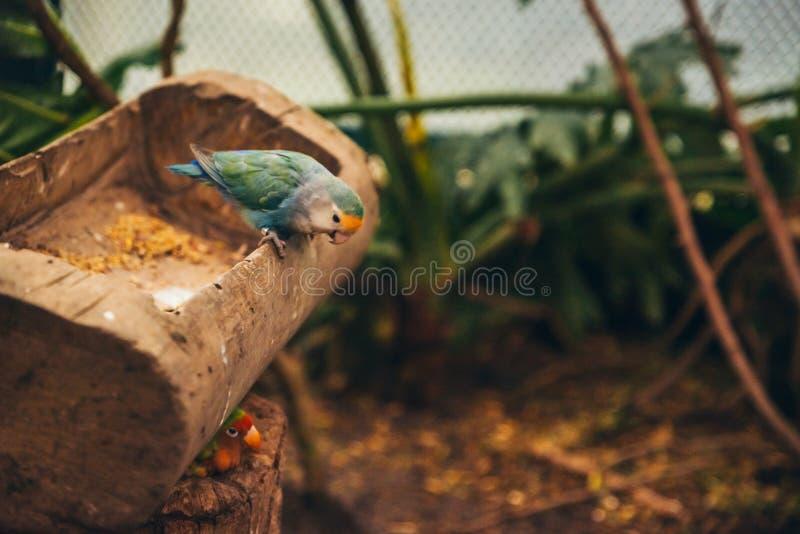 Zwei Wellensittiche in einem Vogelhaus stockbilder