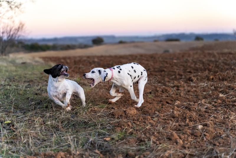 Zwei Welpenhunde, die auf dem Gebiet am sunse spielen lizenzfreie stockfotografie