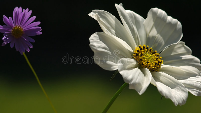 Zwei wilde Blumen lizenzfreies stockbild