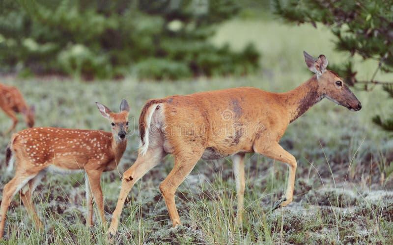 Zwei wilde Hirsche draußen im Wald fressen Gras furchtlos schön und süß stockfoto