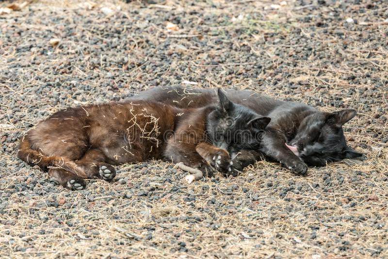 Zwei wilde Katzen, die eine gute Zeit nahe dem Caleta-Strand in La Gomera-Insel haben Paarschlaf süß, aalend auf porösen Lavakies lizenzfreies stockfoto