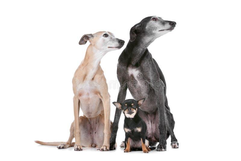 Zwei Windhunde und Chihuahua stockbild