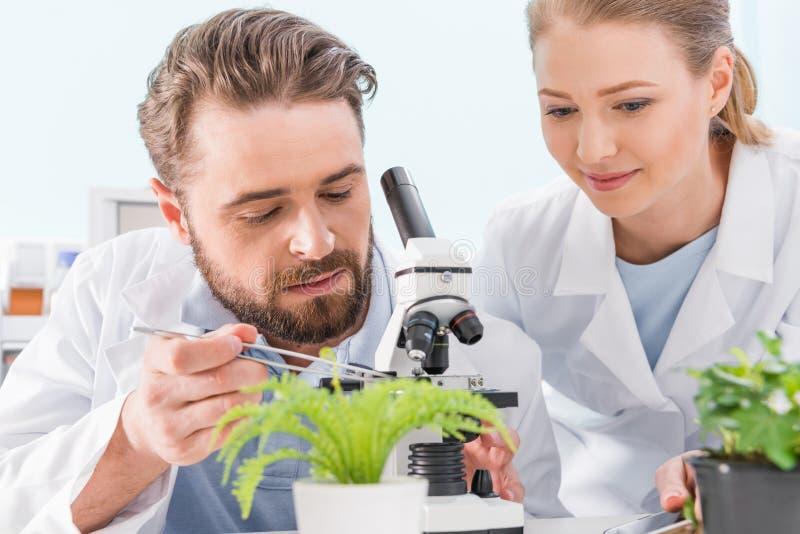 Zwei Wissenschaftler, die zusammen mit Pinzette und Mikroskop arbeiten stockfotografie