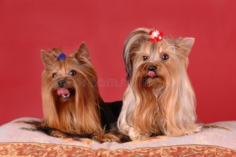 Zwei Yorkshire-Terrier auf rotem Hintergrund stockbild