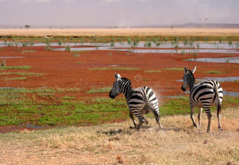 Zwei Zebra in Amboseli, Kenia, stockfotografie