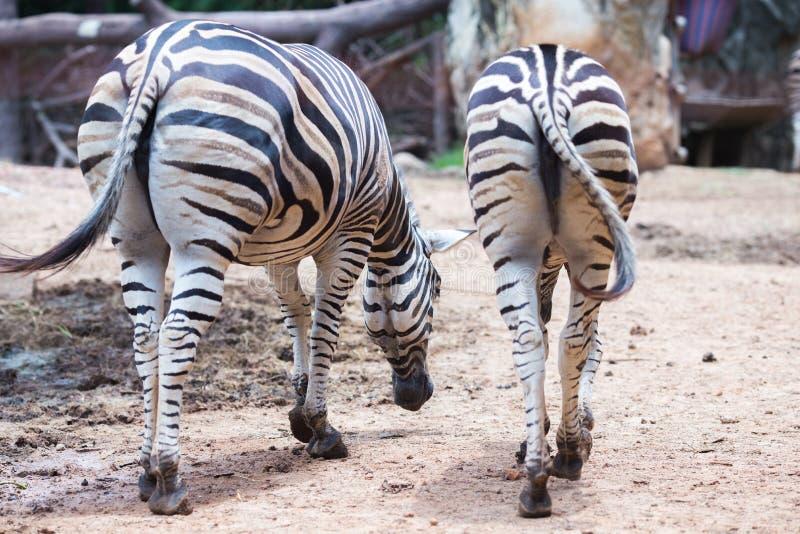 Zwei Zebra ` s Kolben lizenzfreies stockfoto