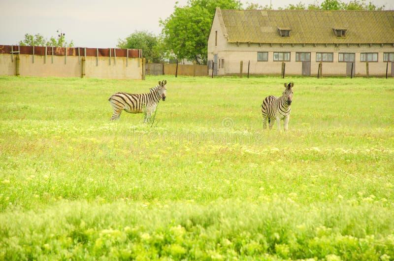 Zwei Zebras auf einem grünen Feld Nahe dem Bauernhof lizenzfreie stockbilder