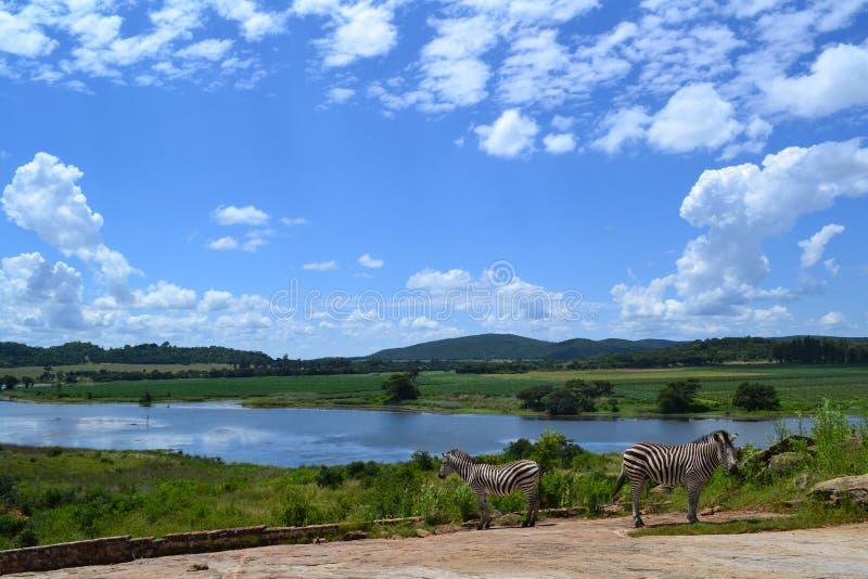 Zwei Zebras durch den Fluss stockfotografie