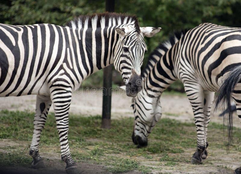 Zwei Zebras am Zoo stockfoto