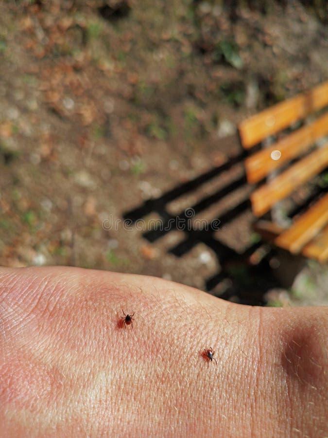 Zwei Zecken, die auf menschliche Haut im Wald während des Wanderns mit einer Bank auf Hintergrund gehen stockbilder