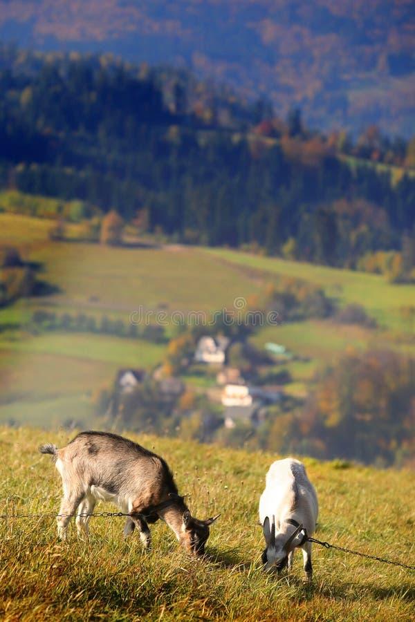 Zwei Ziegen auf dem pasturage stockfotografie