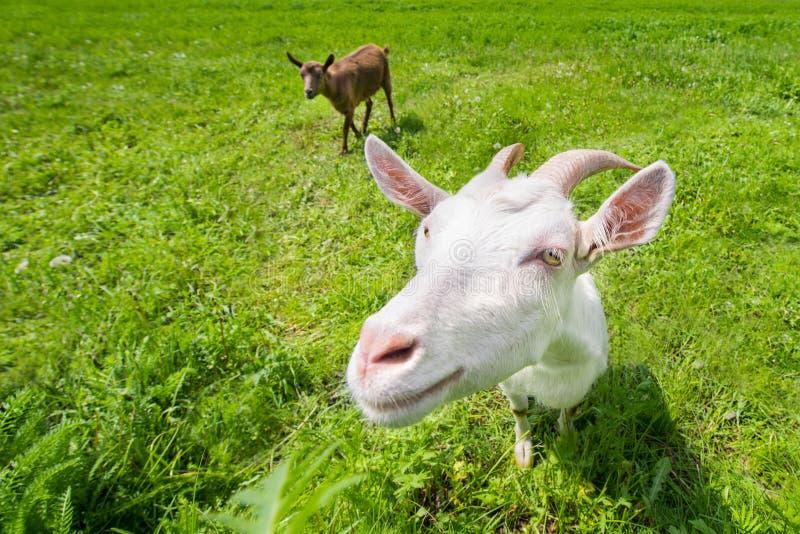 Zwei Ziegen auf einer grünen Wiese stockbild