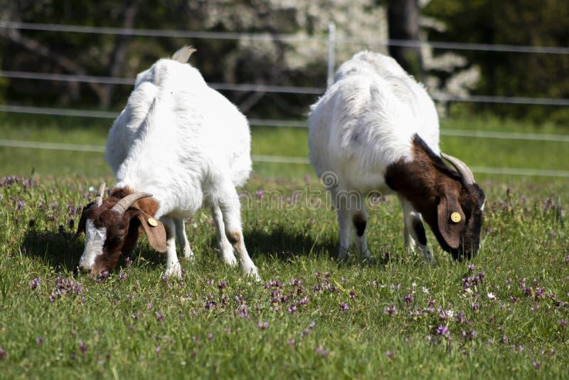 Zwei Ziegen, die auf Frühlingswiese weiden lassen stockbilder