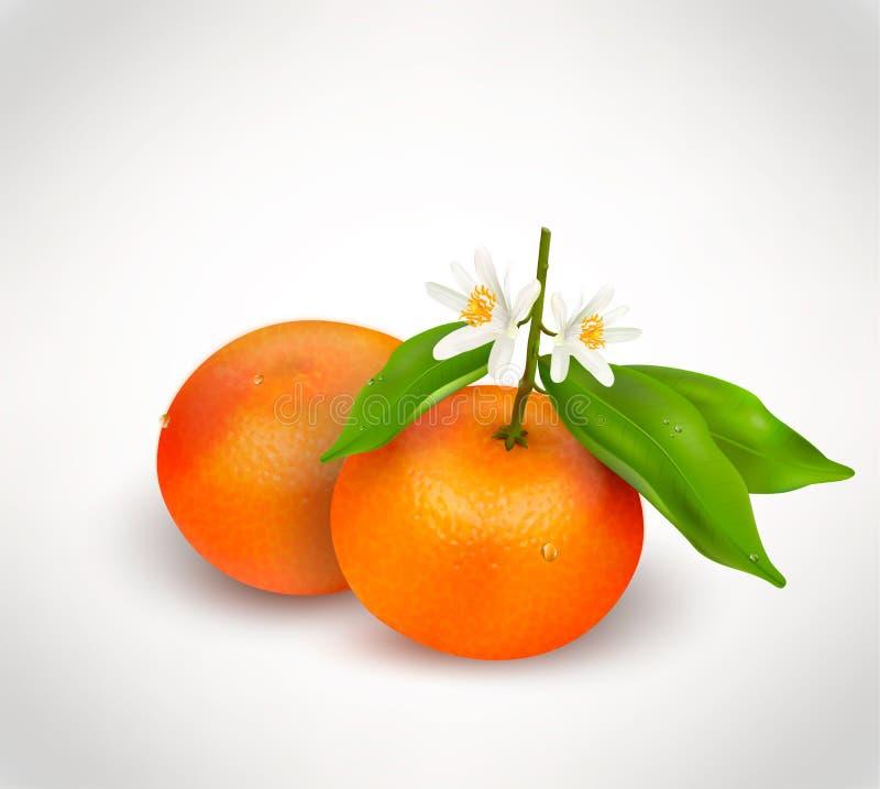 Zwei Zitrusfrüchte Mandarine oder Tangerine auf Niederlassung mit grünen Blättern und weißen blühenden der Blume lokalisiert auf  stock abbildung