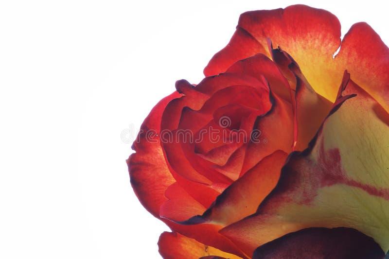 Zweifaerbige Rose - dos coloreados se levantaron foto de archivo libre de regalías