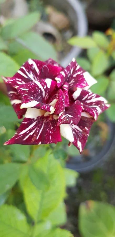 Zweifarbiger Batik Rose stockbilder