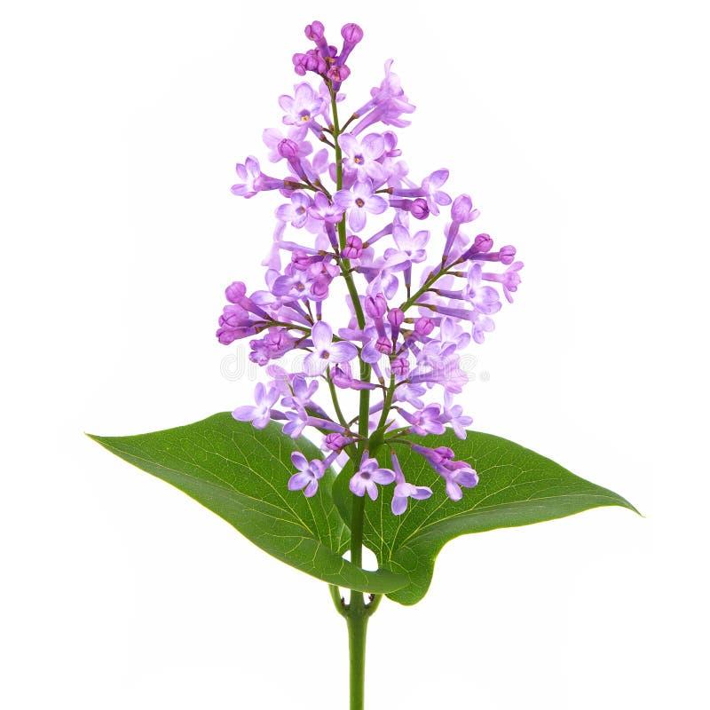 Zweig der blühenden Lilie lizenzfreie stockfotos